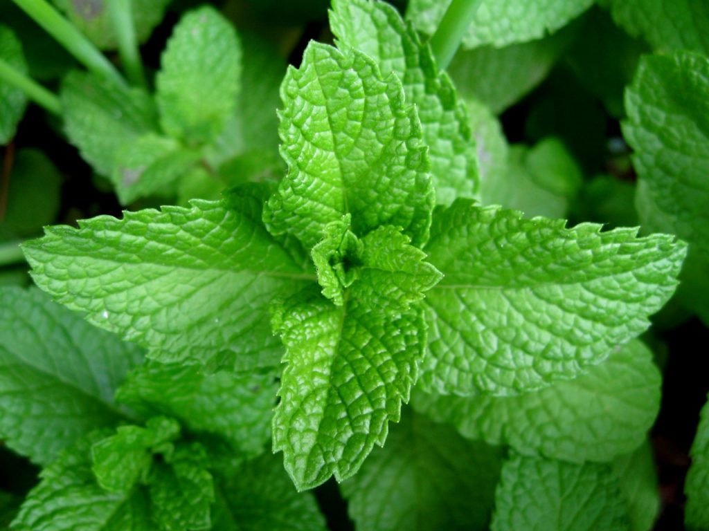 Mint Leaves A Diet Life